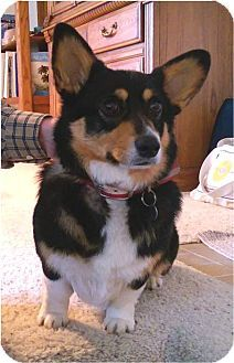 Salem Or Corgi Meet Emma A Dog For Adoption Http Www Adoptapet Com Pet 15234023 Salem Oregon Corgi Dog Adoption Corgi Pet Adoption