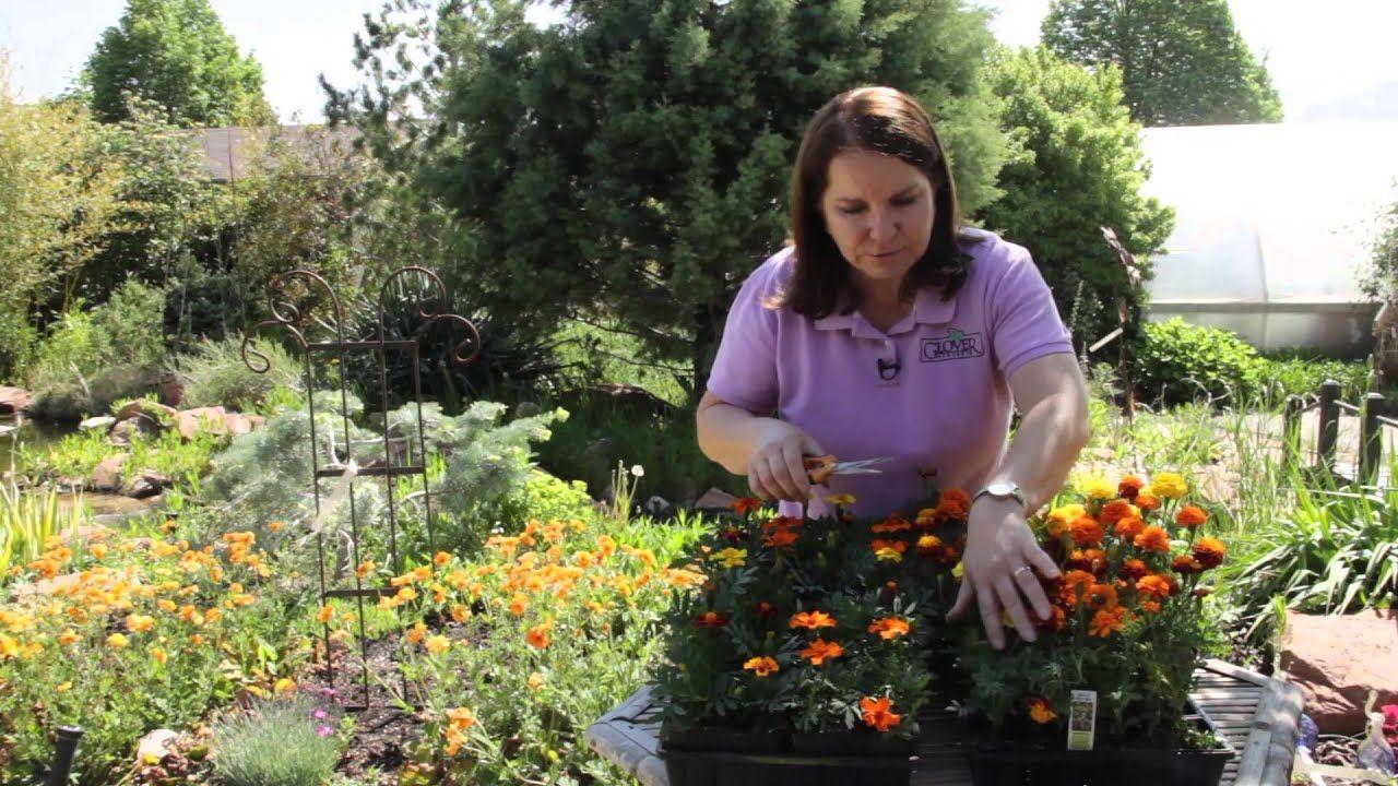 How to Prune Marigolds Grow Guru YouTube Planting