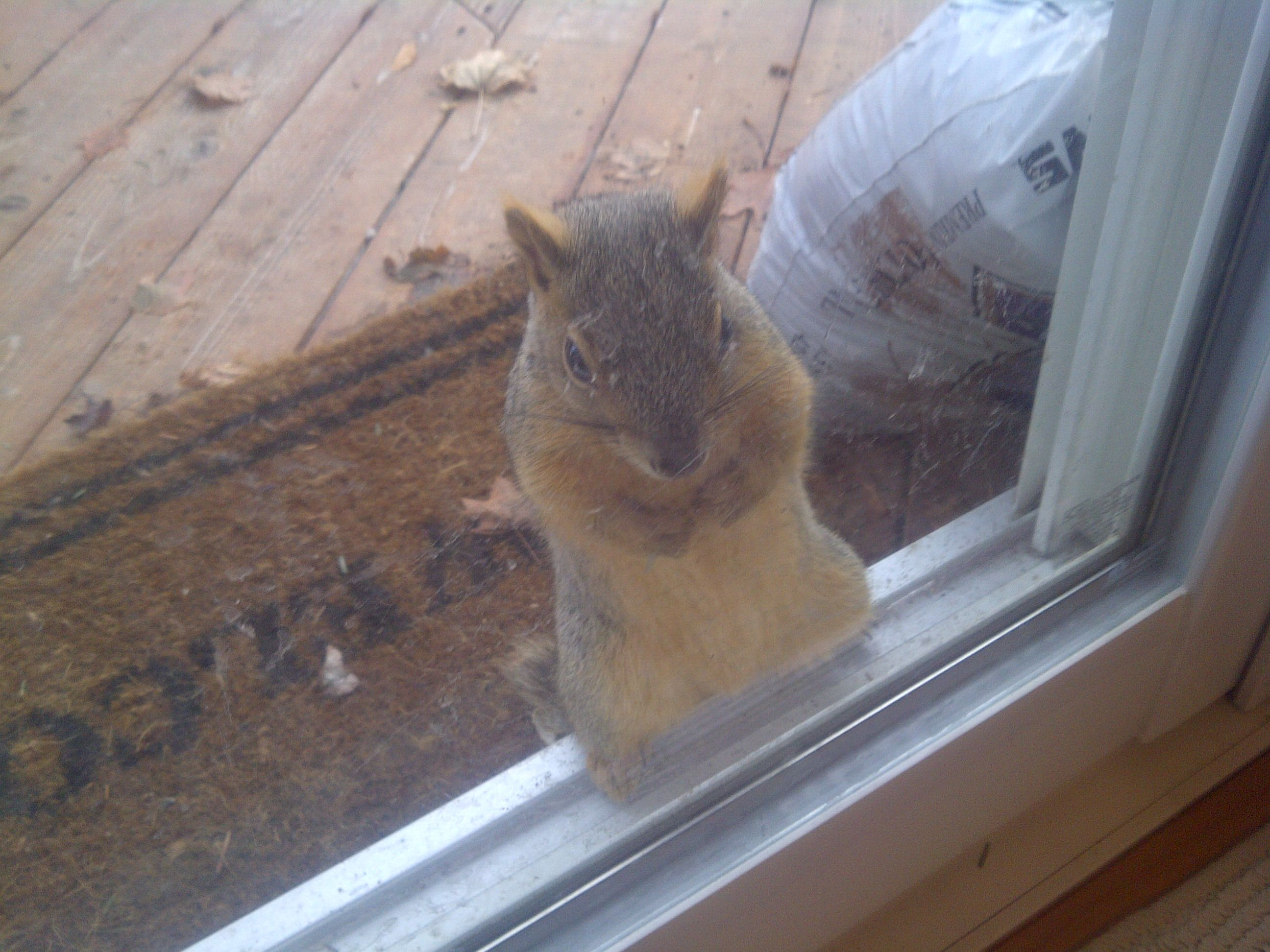 Squirrel knocking at the door for food & Squirrel knocking at the door for food | Cute Animals | Pinterest ...