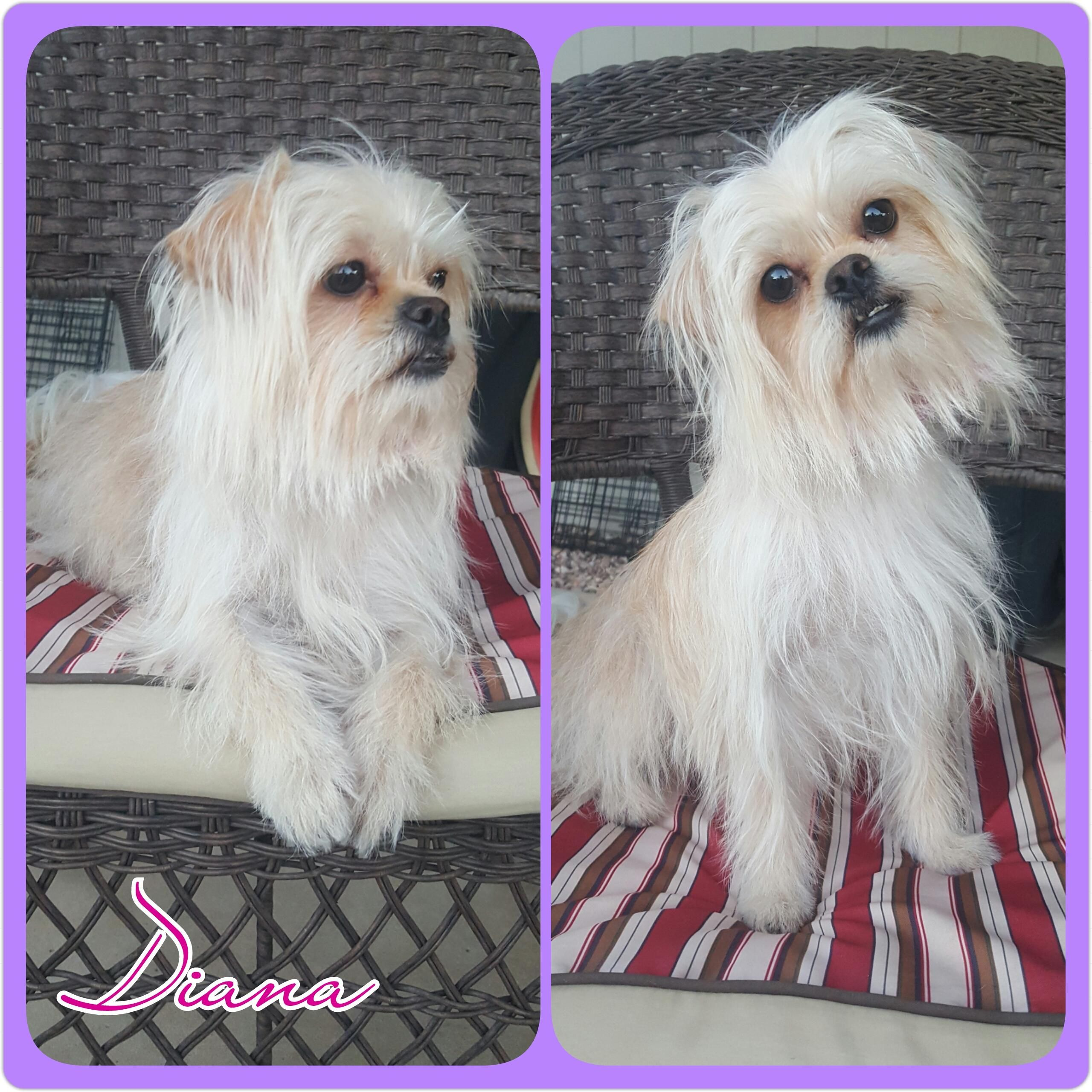 Adopt Diana on Yorkshire terrier puppies, Yorkshire