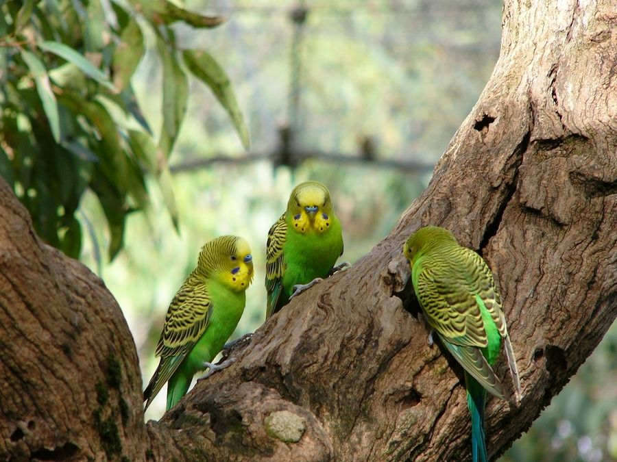 budgerigars - Google Search
