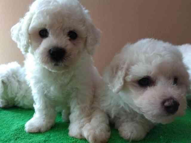 Bichon Frise Puppies For Sale Bichon Frise Puppy Bichon Puppies For Sale