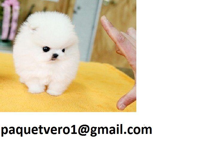 Teacup Pomeranian Puppies For Adoption Ras Al Khaimah Free Zone