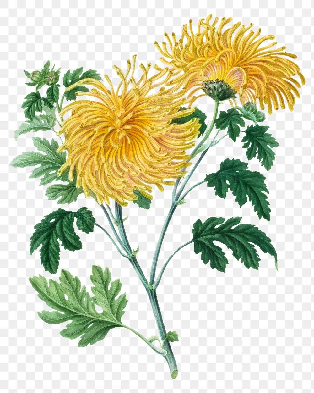 Hand Drawn Blooming Yellow Chrysanthemum Design Element Free Image By Rawpixel Com Aom Woralu In 2020 Yellow Chrysanthemum How To Draw Hands Botanical Illustration