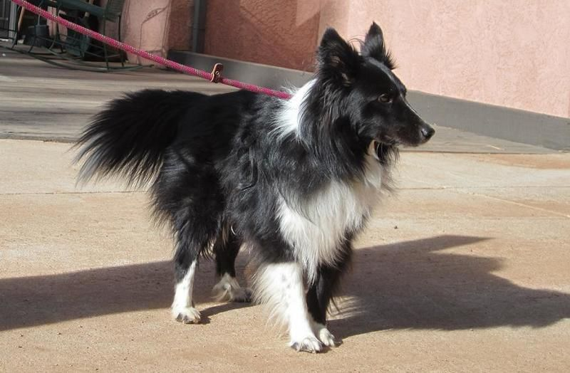 Adopt Raven On Rescue Dogs Dogs Beautiful Dogs Sheltie
