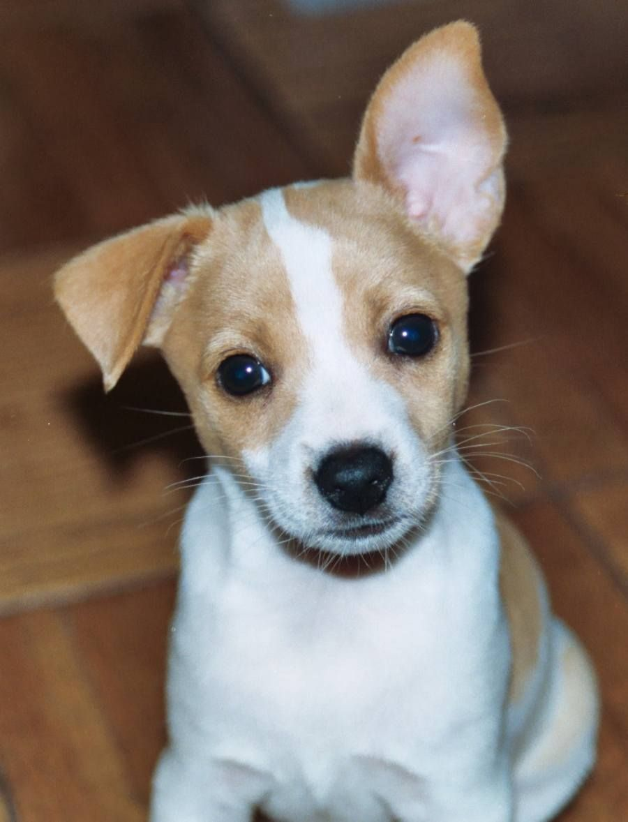 Rat Terrier Photos And Wallpapers The Beautiful Rat Terrier Pictures Rat Terrier Puppies Rat Terrier Dogs Rat Terriers