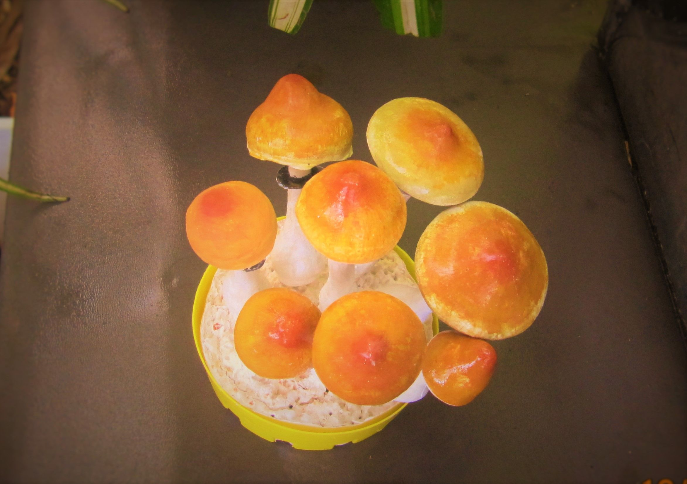 Air Dry Clay Psilocybe Cubensis   MyGardeN'sManY   Air dry