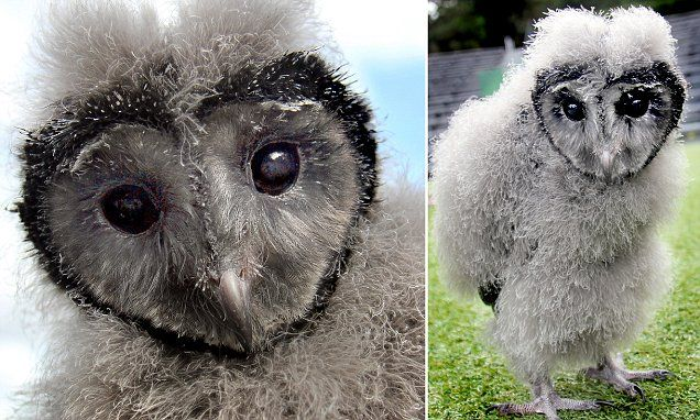 Love is in the air! Adorable eight-week-old owl with heart-shaped face