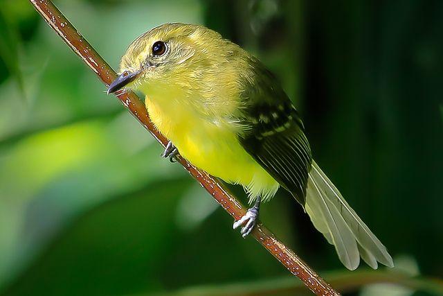 Foto marianinha-amarela (Capsiempis flaveola) por Ernani Oliveira   Wiki Aves - A Enciclopédia das Aves do Brasil