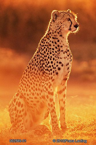 Photo of cheetah- Frans Lanting