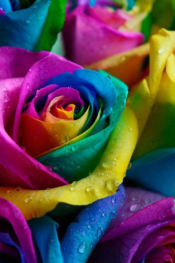 Rainbow Roses With Images Rainbow Roses Rainbow Flowers
