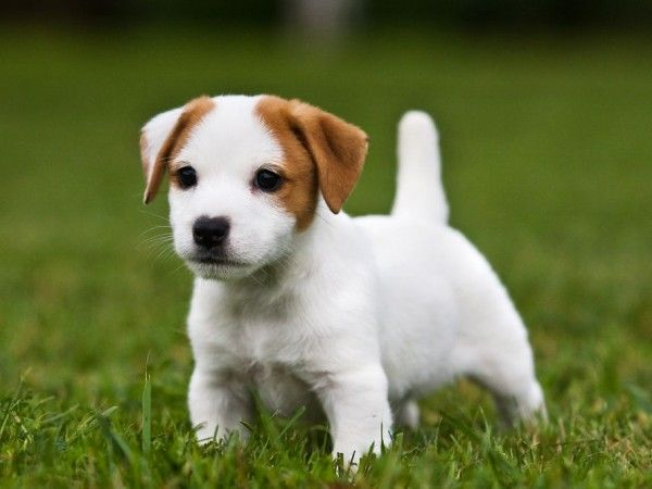 Woran Sie Einen Guten Hundezuchter Erkennen Hunde Welpen Jack Russel Welpe Hunde