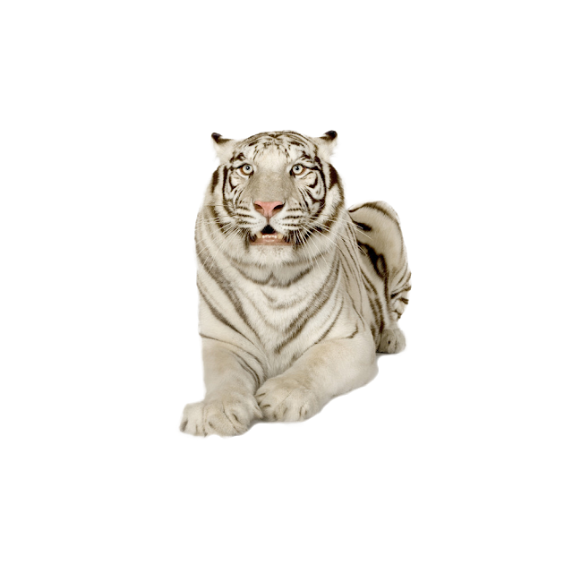 White Tiger Images Tiger Free Png Images Tiger Images Png Images For Editing Png