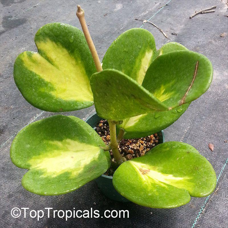 Single leaf hoya kerrii