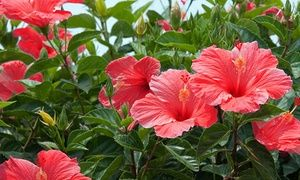 Stay At The Dana On Mission Bay In San Diego Ca Hibiscus Shrub Hibiscus Flowers