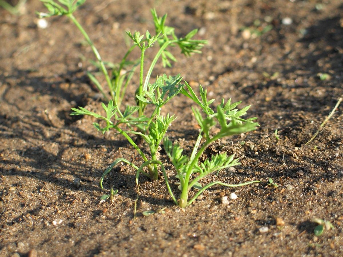 carrot seedlings growing planting carrot seeds and