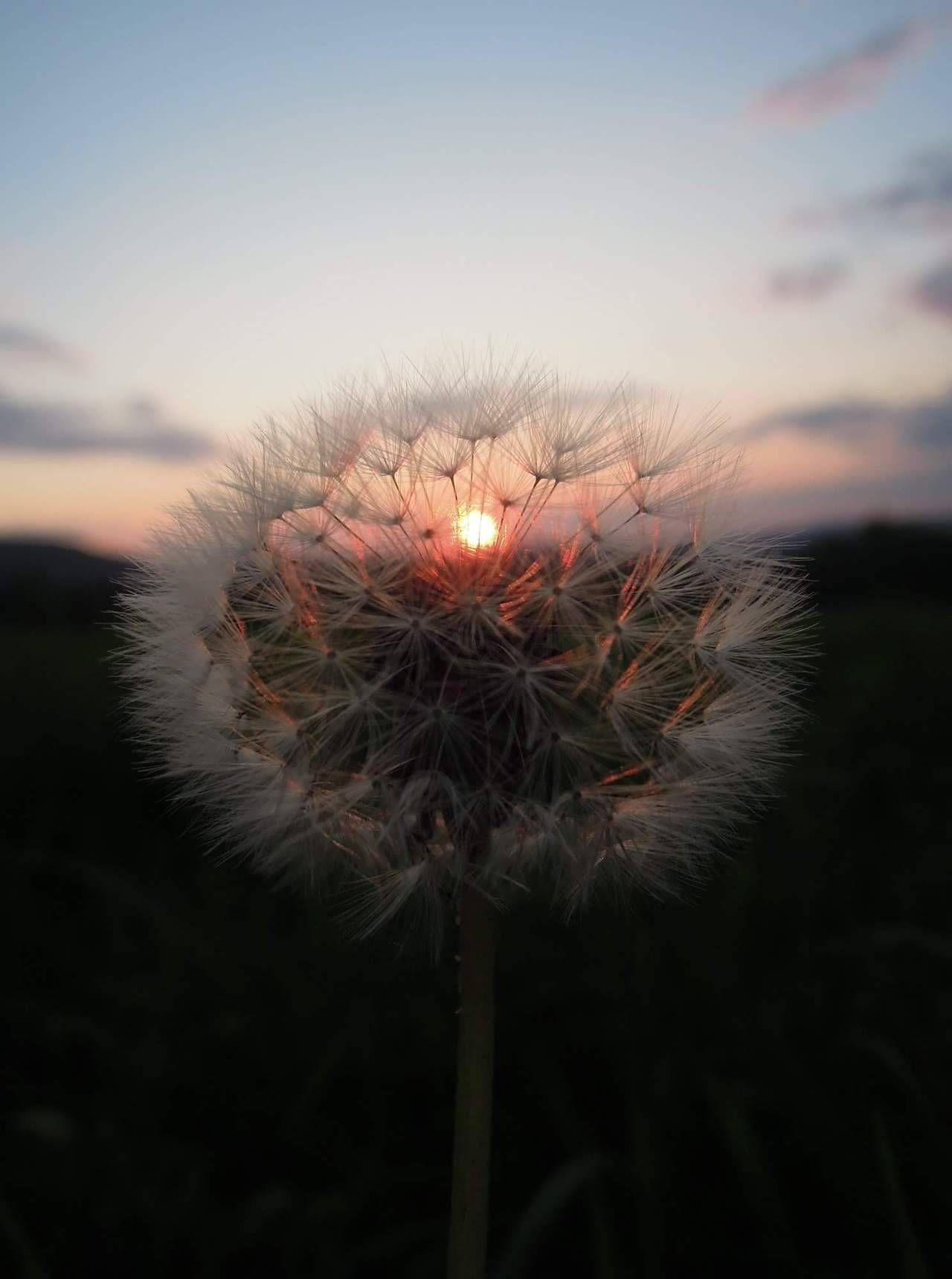 Sunset Dandelion Aesthetic Aesthetic Photography Nature Nature Aesthetic Flower Aesthetic