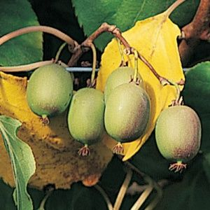 One Green World Nursery Offers Unique And Delicious Fruiting Trees
