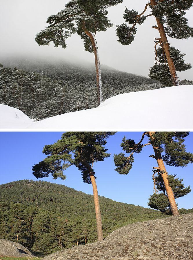 Aniversario de la Sierra del Guadarrama Pinos silvestres en la vertiente segoviana. Arriba, imagen tomada en febrero de 2014, abajo, la misma imagen en Octubre de 2013.