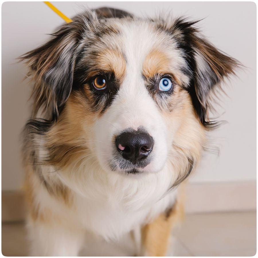 Australian Shepherd dog for Adoption in Eden Prairie, MN
