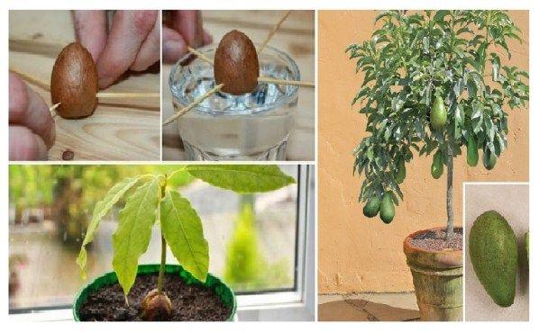 comment faire pousser votre propre avocatier dans un petit pot de jardin interieur rbol de. Black Bedroom Furniture Sets. Home Design Ideas