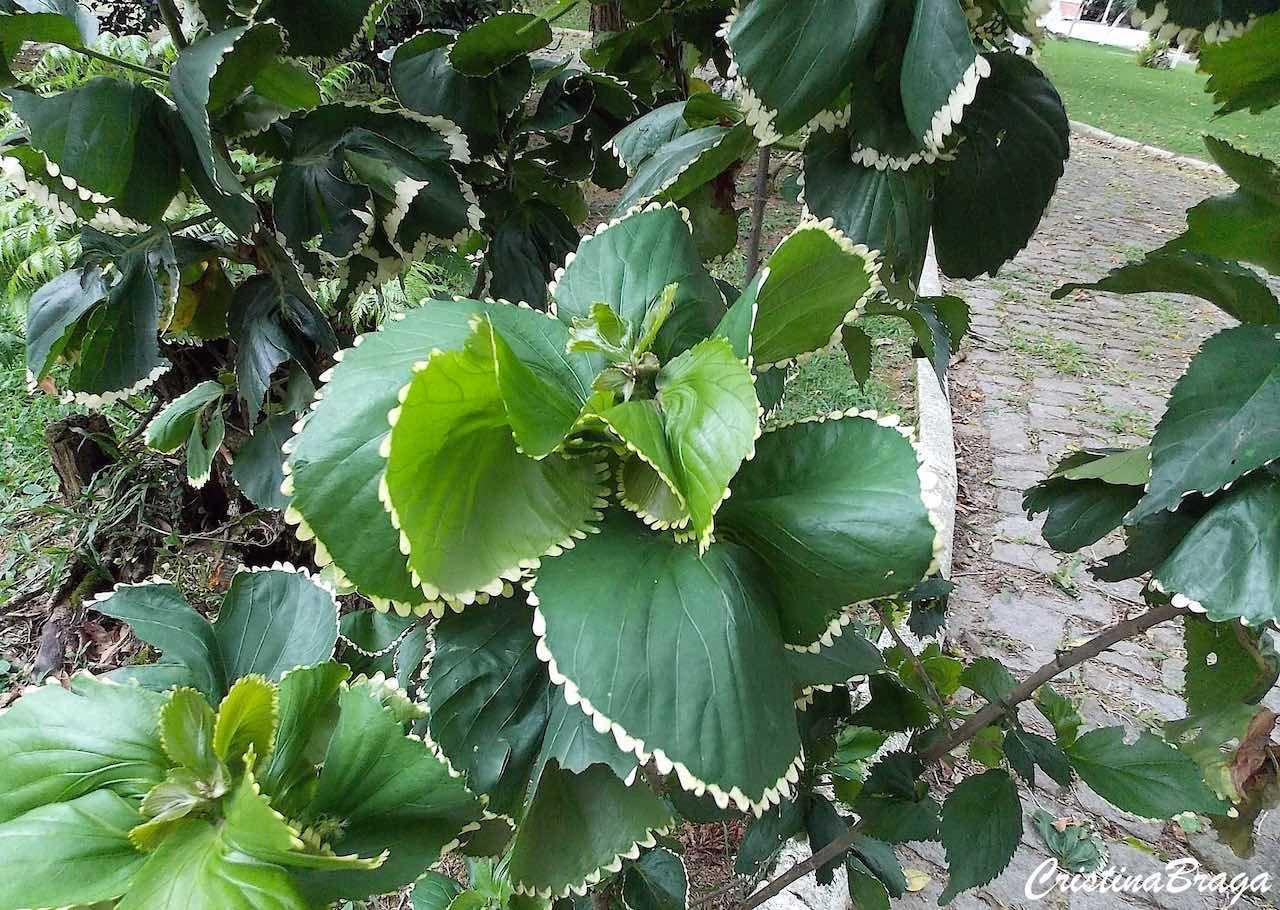 Acalifa Verde Acalypha Wilkesiana Com Imagens Folhas De
