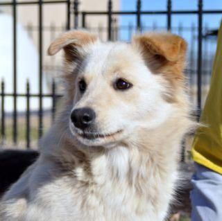 Claire Is A Beautiful Medium Sized Dog With Thick White And Blonde
