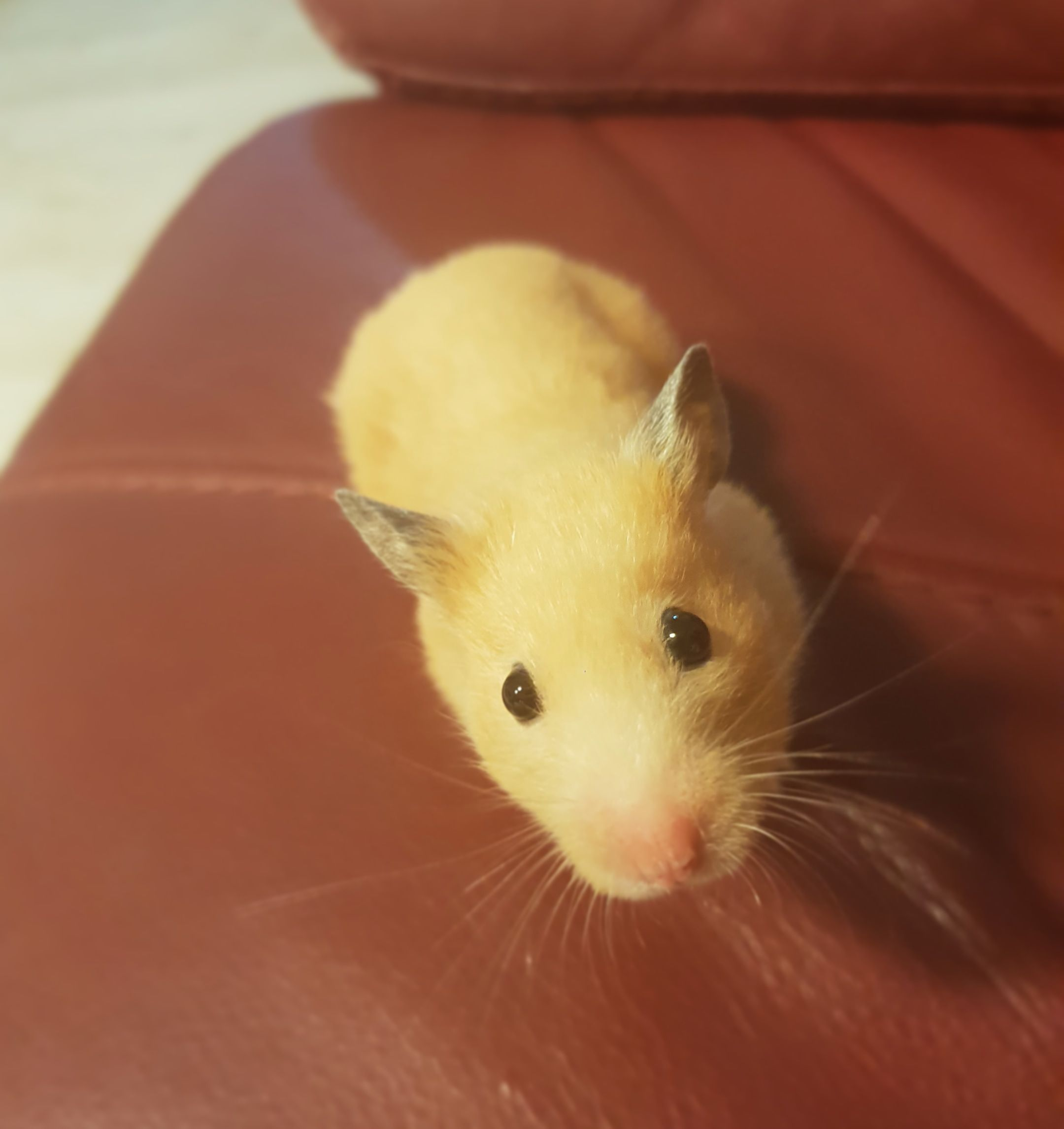 Please Pray For Nuggie She S Having A Pyometra Surgery Today Any Advises For After Surgery Cares Are Also Apprec Cute Hamsters What Is Cute Hamster