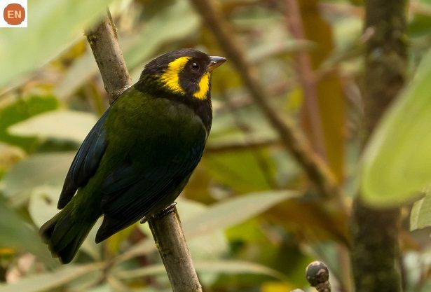 https://www.facebook.com/WonderBirdSpecies/ Gold-ringed tanager (Bangsia aureocincta); Endemic to Colombia; IUCN Red List of Threatened Species 3.1 : Endangered (EN)(Loài nguy cấp) || Chim Tanager vòng vàng; Loài đặc hữu Colombia; HỌ TANAGER - THRAUPIDAE (Tanagers).