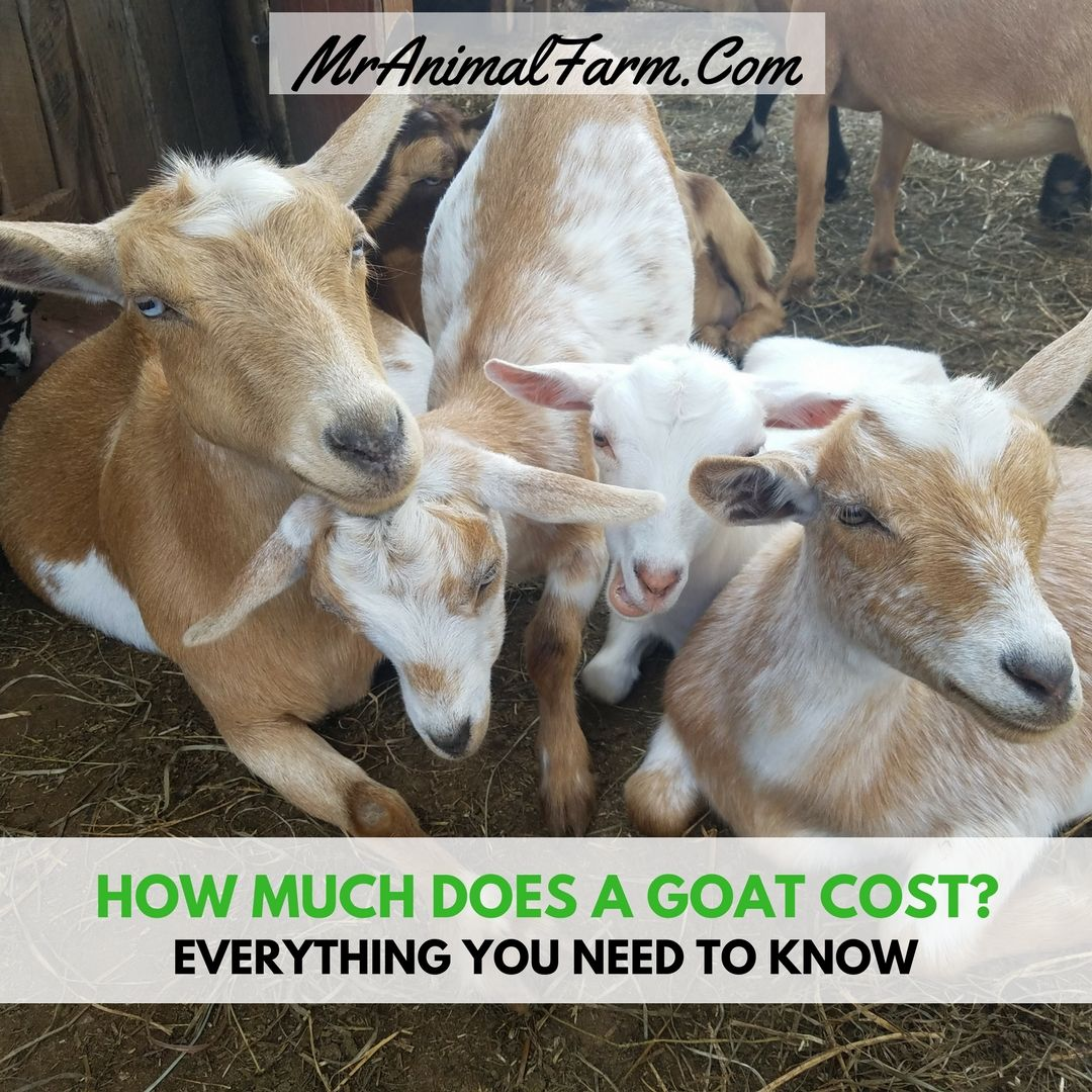 How Much Does a Goat Cost | Goats, Goat farming, Goat care