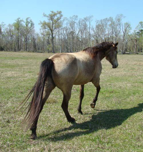 Tennessee Walking Horses - CLOUD 9 WALKERS - Panache