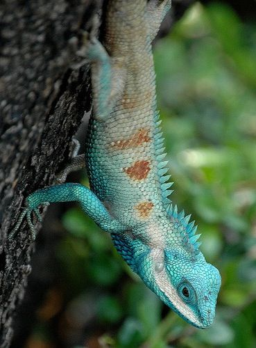 Indo-Chinese Forest Lizard (Calotes mystaceus) Southeast Asia