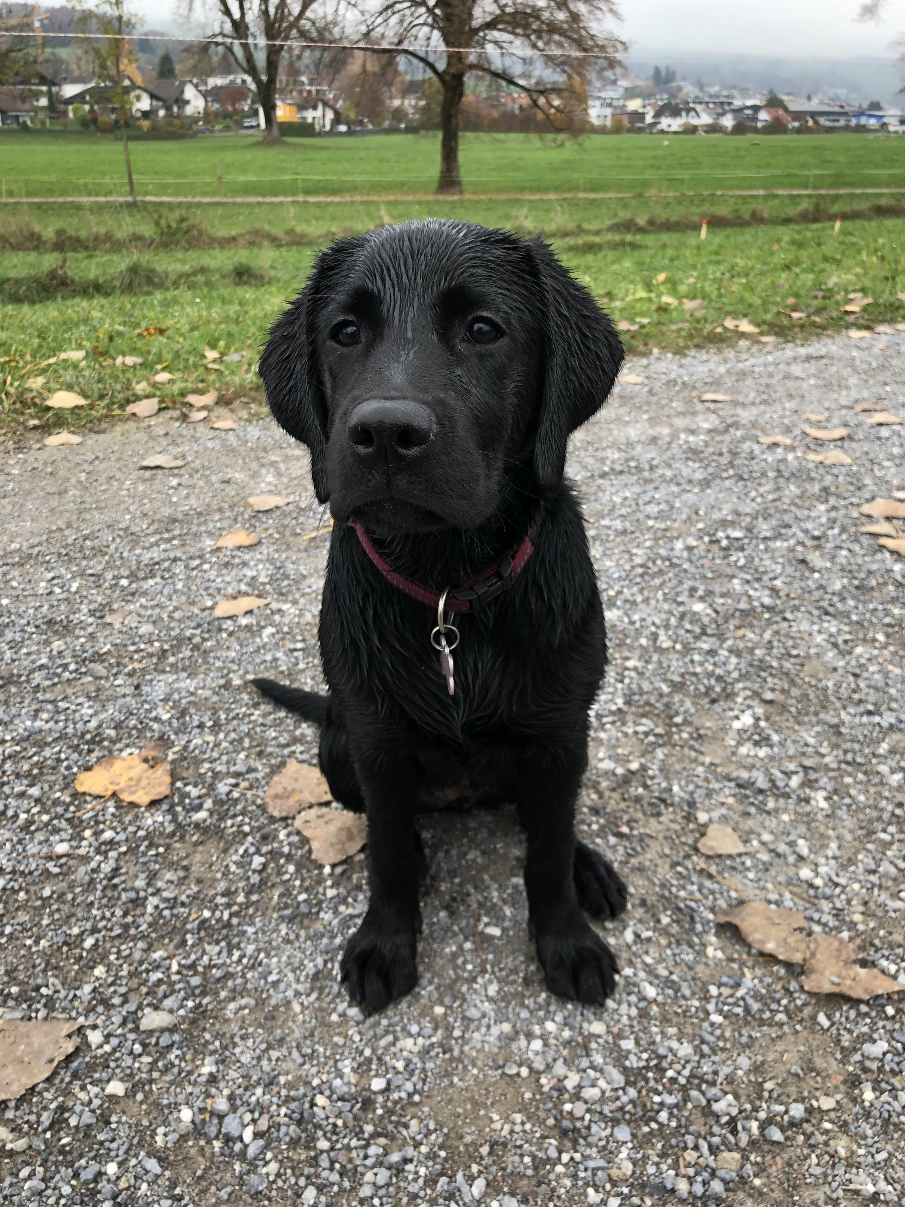 This Is My Almost 5 Month Old Lab Isnt She A Beaut Please Donate Us Hello There Bright People Are You Doglover Or Have Y Perros Labrador Labrador Chocolate