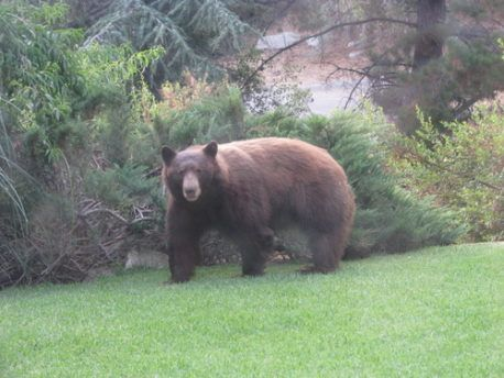 Bears Sighted In Lower Altadena Foothills Bear California Dreaming Foothills