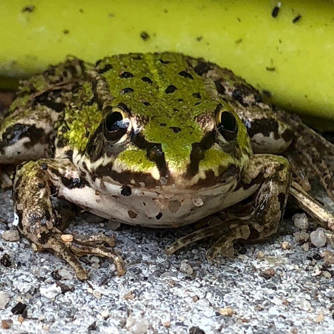 Wir Haben Besuch In Unserem Garten Valentin Hat Ihn Entdeckt Ob Er Wohl Einer Unsere Kaulquappen Von Vor 1 5 Monaten Ist Frosc Garten Kaulquappen Frosch