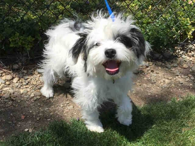 ★❥•ADOPTED!• ❥★ ~ Animal ID #A161245   *** 5 Month Old PUPPY ALERT!!! ***  My Name is NURSE SMOOCH. I am a Female, White & Black Toy Poodle and Maltese. The shelter thinks I am about 5 months old. I have been at the shelter since April 29, 2015.    Mission Viejo Animal Shelter ‒ (949) 470-3045 28095 Hillcrest  Mission Viejo, CA Fax: (949) 470-9140 https://www.facebook.com/OPCA.Shelter.Network.Alliance/photos/pb.481296865284684.-2207520000.1430652732./816780251736342/?type=3&theater