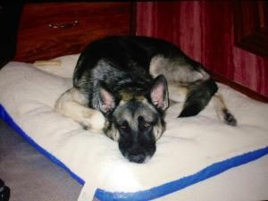Ralphie Is An Adoptable German Shepherd Dog Dog In Louisville Ky Ralphie The Gentle German Shepherd This Ex German Shepherd Dogs Pet Adoption Animal Rescue