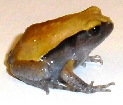 Tomato Frogs turn brown when they're depressed... As you can see here