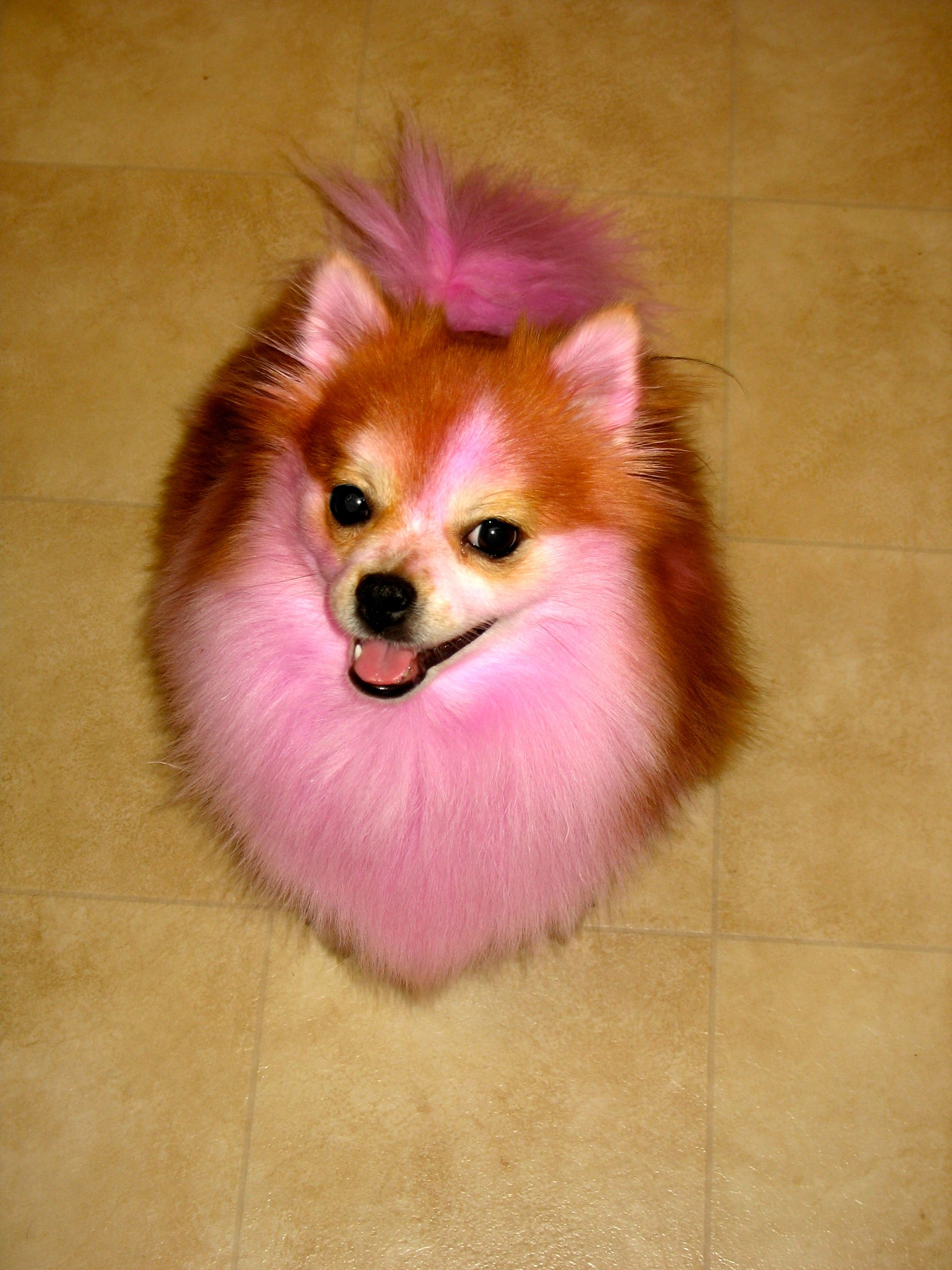Pink Pomeranians With Images Pink Dog Cool Pets Cute Animals