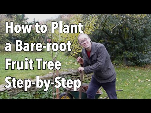 How To Plant A Bare Root Fruit Tree Step By Step Youtube Fruit Trees Plants Container Gardening Vegetables