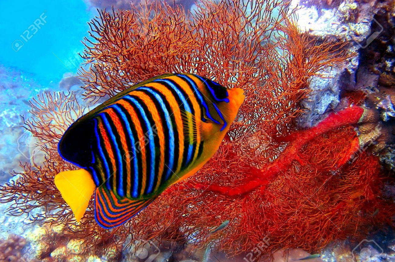 pygoplites diacanthus - Cerca con Google   ~ Under the Sea~.   Pinterest