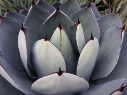 aliceguittardclic:Oh mon cactus