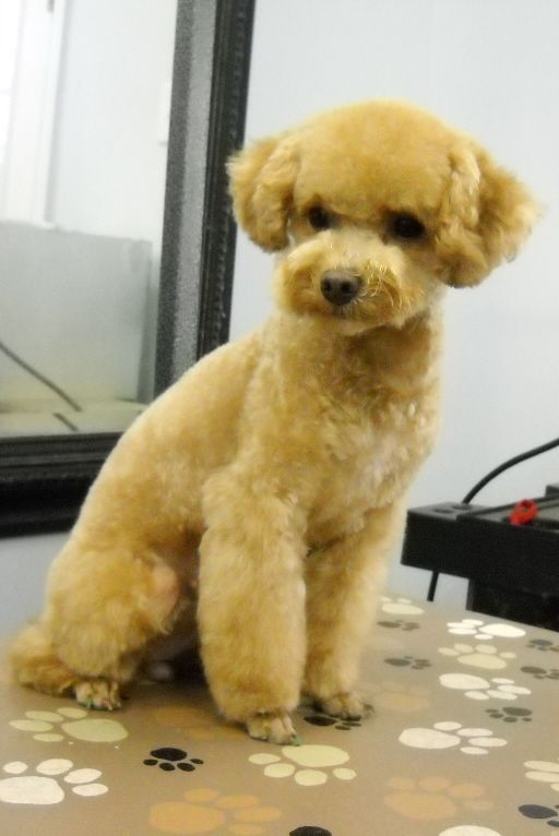 poodle japanese clips - Google Search