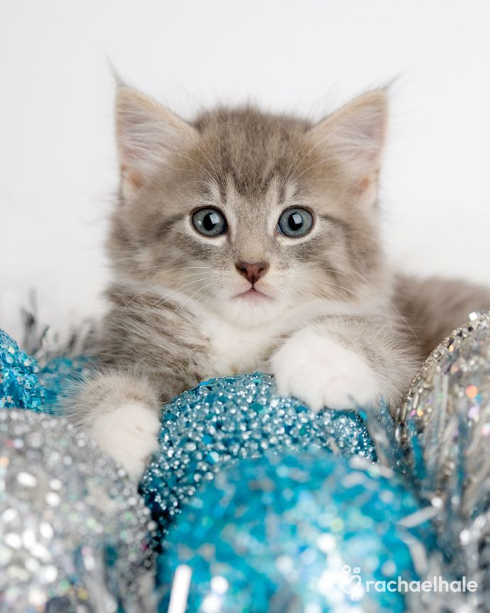Belle (Siberian x) - The Christmas Belle of them all