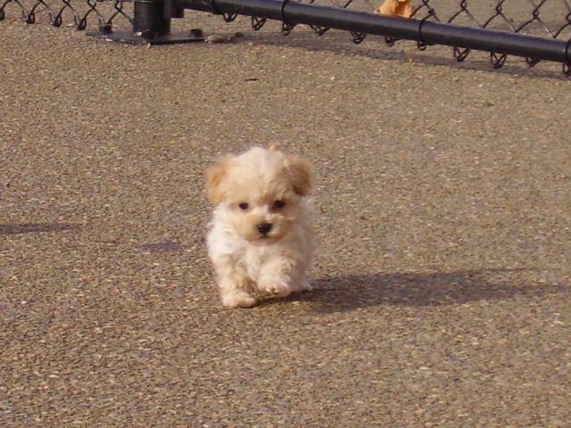 Maltipoo Cute Animals Baby Dogs Maltipoo Dog