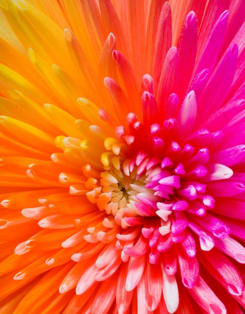 Constant Heliophilia | Flower wallpaper, Colorful flowers ...