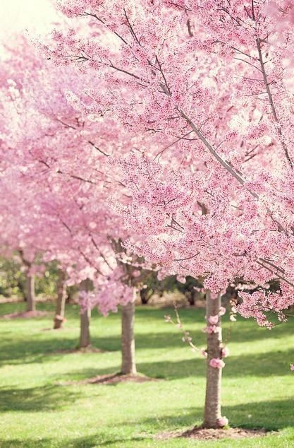 Colors Pink Green Spring Landscaping Blossom Trees Cherry Blossom Tree