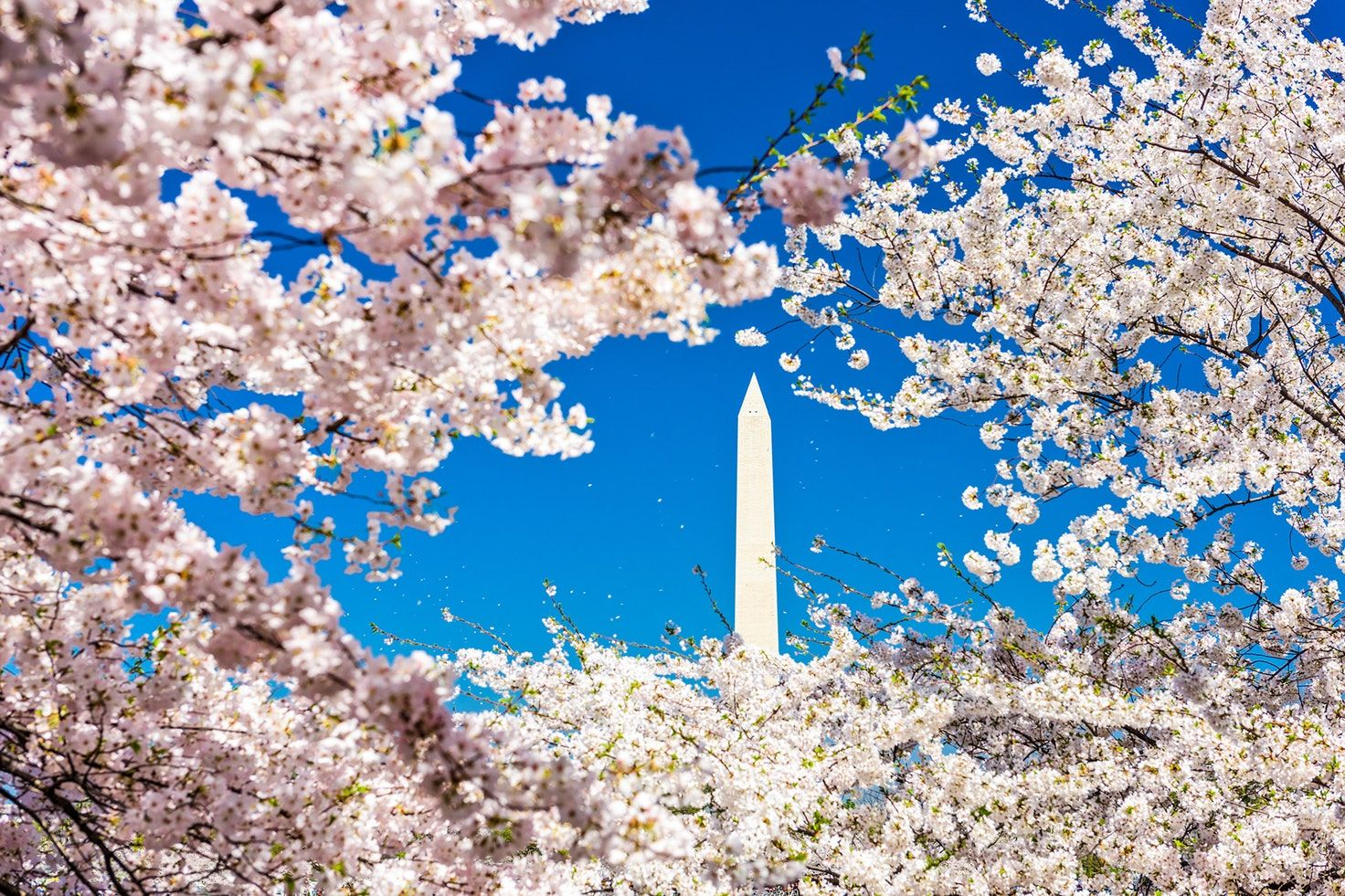 Washington D C S Cherry Blossom Bloom To Peak In April This Year Bloom Spring Photos Cherry Blossom