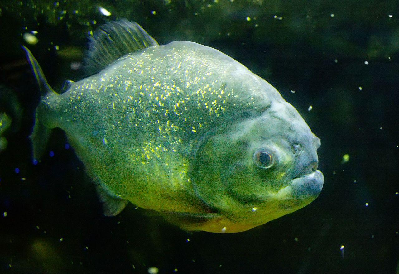 Piranha's of echte piranha's (Serrasalmidae) zijn een familie van carnivore zoetwatervissen die in de rivieren van Zuid-Amerika leven. Piranha's worden ongeveer 15 tot 25 centimeter lang, hoewel individuele vissen gevonden zijn die ruim 40 centimeter lang waren. Piranha's zijn bekend om hun scherpe tanden en hun agressieve honger naar vlees. De hier getoonde Pygocentrus piraya leeft enkel in het Amazonegebied en in de rivieren van Paraguay.