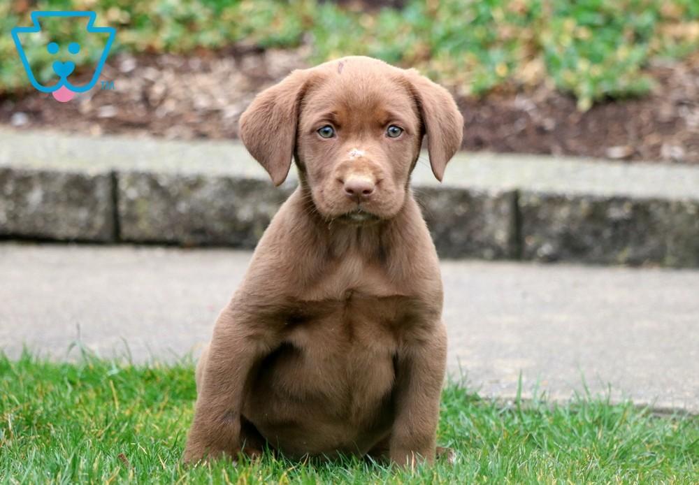 Bell Labrador Retriever Chocolate Puppy For Sale Keystone Puppies In 2020 Labrador Retriever Labrador Puppy Chocolate Labrador Puppies For Sale
